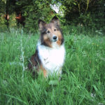 Shelley_Book-1_MoSheltie_on-Facebook